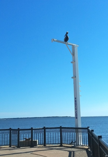 Pensacola was full of both real brown pelicans and statues of pelicans.